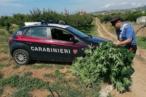 arresto per coltivazione di piante di marijuana 2